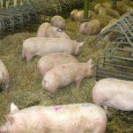 Una mujer muere devorada por sus cerdos mientras les daba de comer