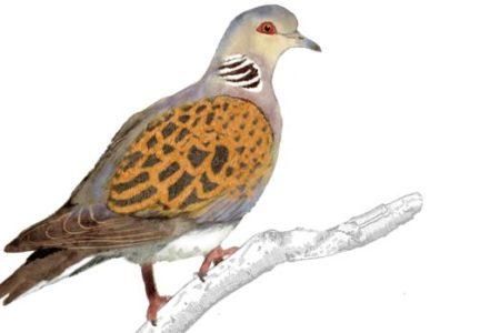 Tórtola común, el ave de la discordia