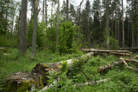El Gobierno polaco resucita la amenaza de tala del último bosque virgen de Europa